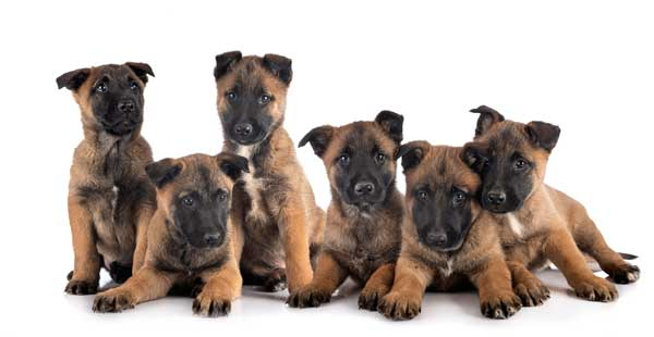Natural puppy training works well for active breeds like Malinois