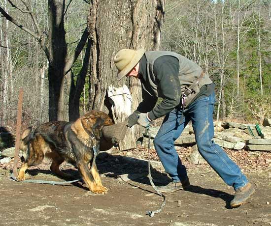 Natural Dog Training originator Kevin Behan playing tug with German Shepherd