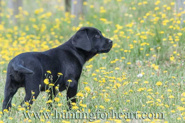 Black Lab puppy - Natural Dog Training keeps the puppy in the dog as he grows