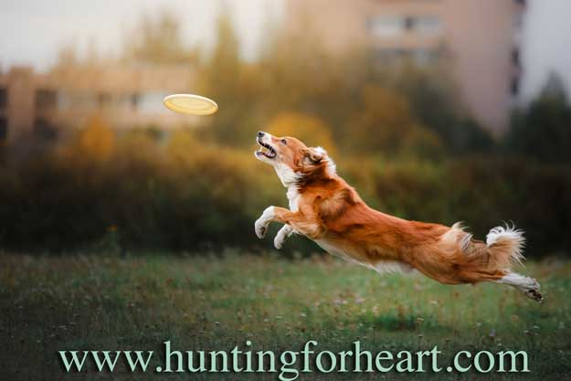 Border Collie leaps for frisbee