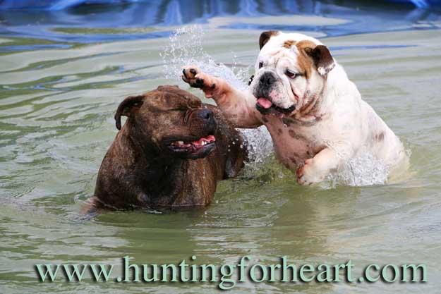 Bulldogs playing in water
