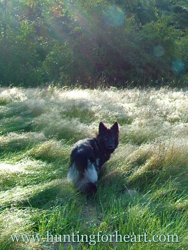 Beautiful dog, morning sun, sparkling dew on the grass