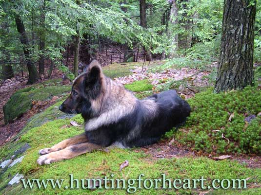 Beautiful East German Shepherd lying on moss in woods.