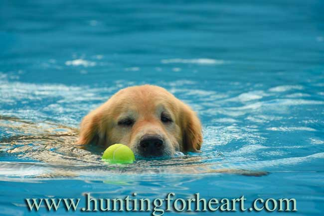 Golden Retriever puppy fetching tennis ball in pool. Puppy training timeline should include a lot of things your dog loves to do.