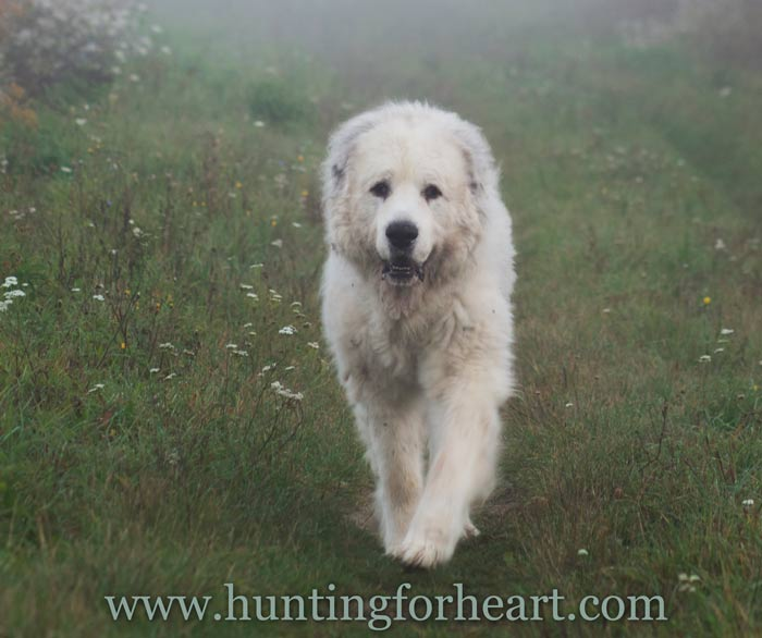 Great Pyrenees dog on misty day