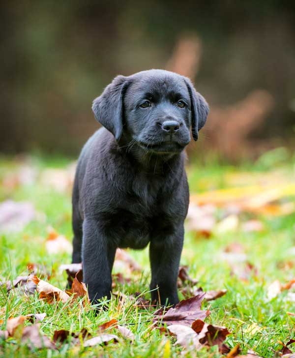 Black Lab puppy outdoors