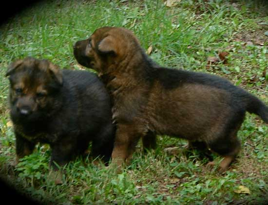 East German Shepherd pups playing